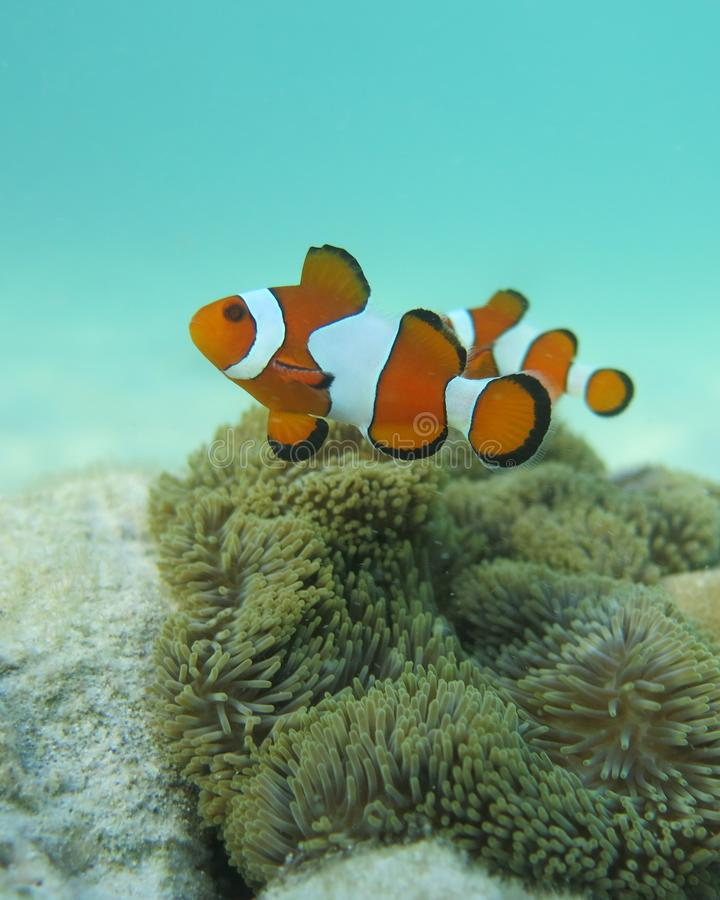 Nemo karimunjawa stock photos