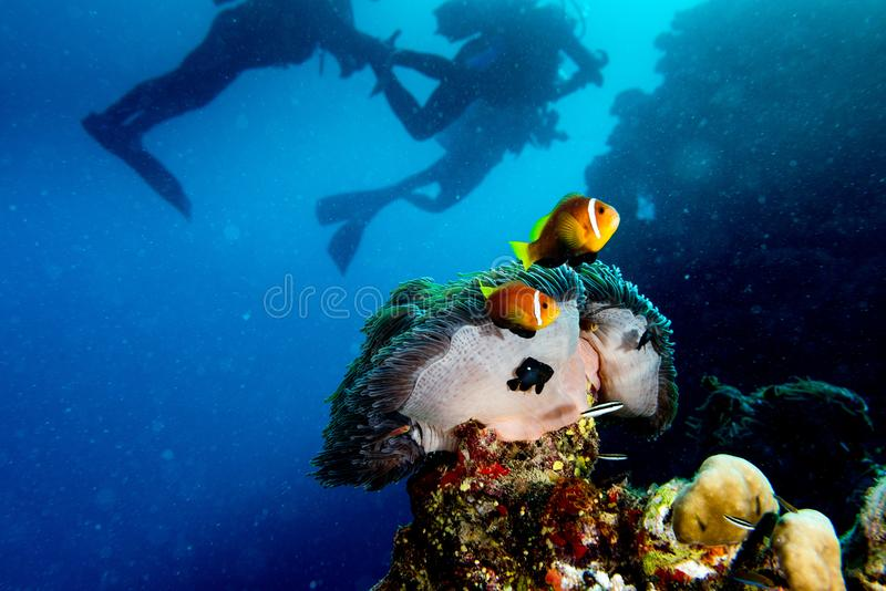 Clown fish inside red anemone in maldives with scuba diver silhouette stock images