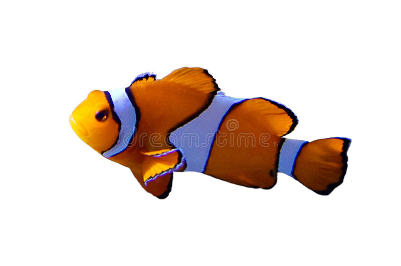 Clown fish, Isolated. Picture of a clown fish, isolated royalty free stock photos