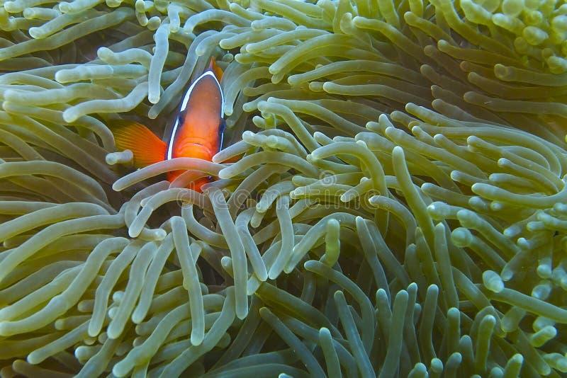 Clown Fish in Lichtende Zeeanemoon van Aalmoezenier Burgos, Leyte, Filippijnen stock foto's