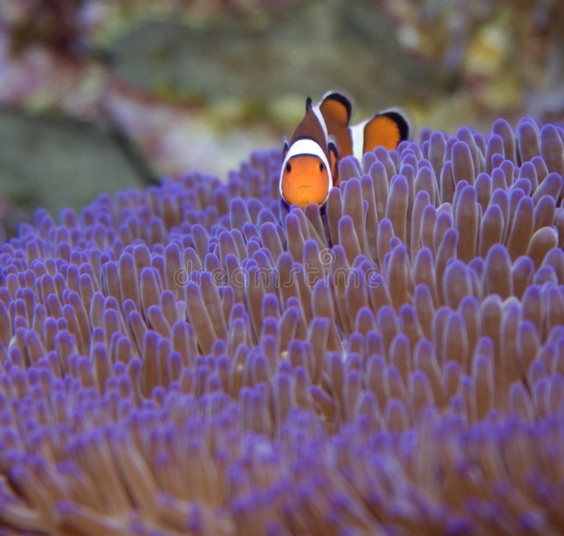 Clown fish looks at camera. Clown fish on australia's great barrier reef, looking at the camera while swimming over an anemone