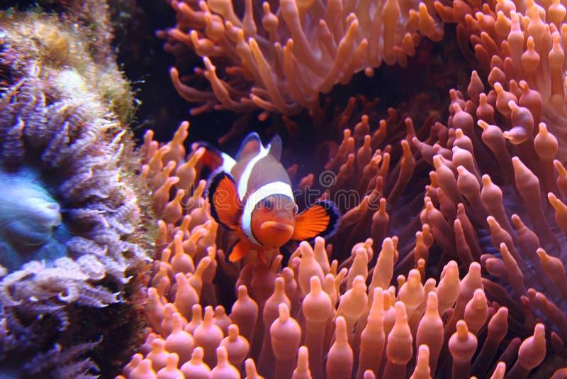 Clown fish (nemo) royalty free stock image