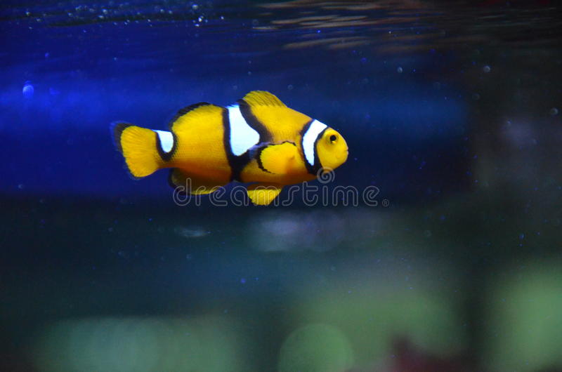 Clown fish Nemo royalty free stock images