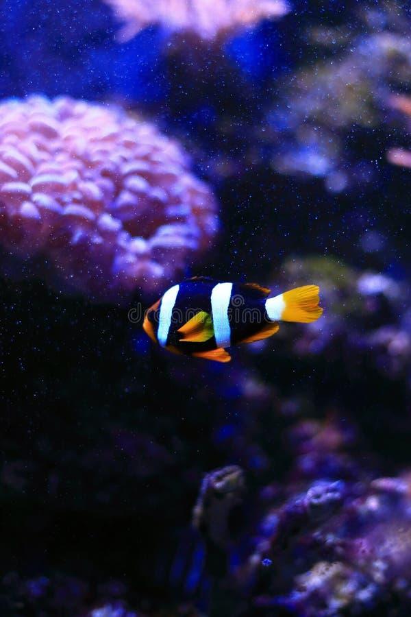 Clown fish nemo royalty free stock photos
