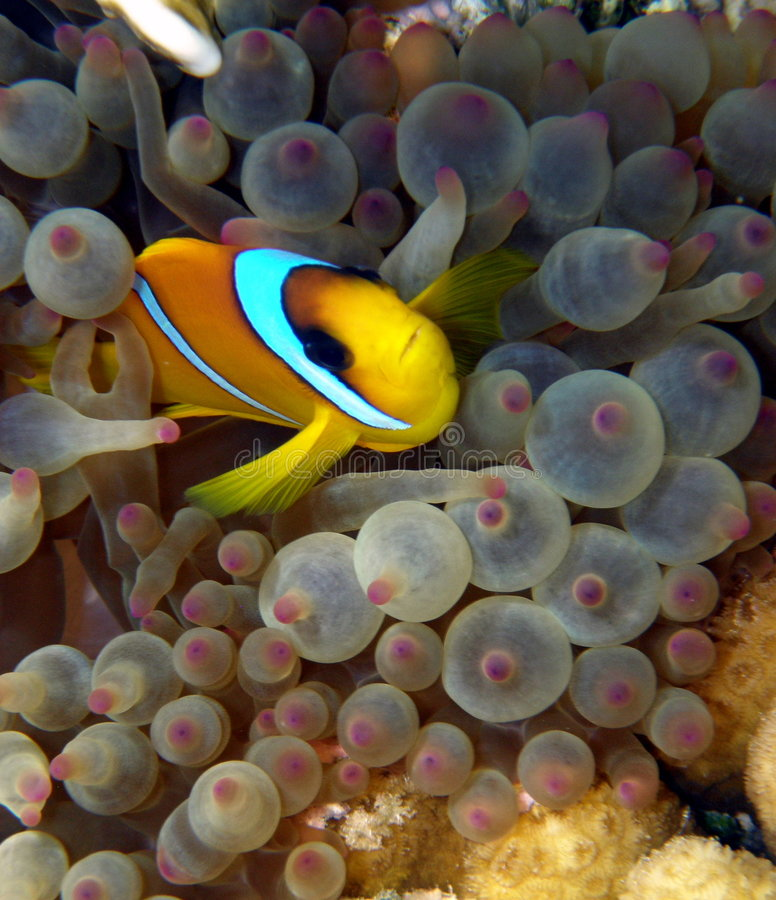 Clown Fish in purple anemone. Clown fish in purple bubble tipped anemone royalty free stock photos
