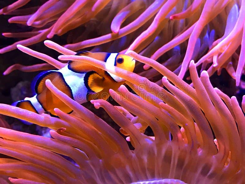 Clown Fish royalty free stock photos