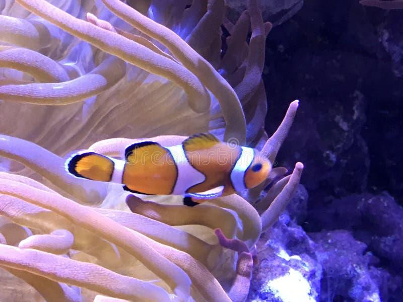 Clown Fish royalty free stock photography