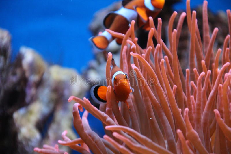 Clown fish in the Rotterdam Zoo. Moon fish in the Blijdorp Rotterdam Zoo Pterophyllum altum royalty free stock image
