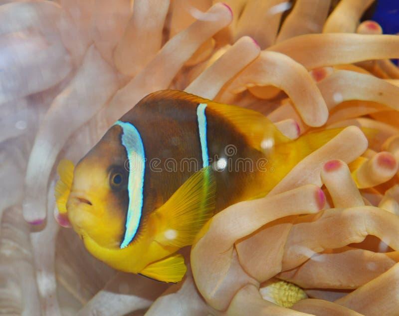Clown-Fish-Schwimmen in der Anemone stockfotos