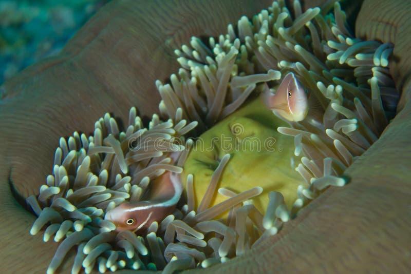 Clown fish in sea anemone royalty free stock photo