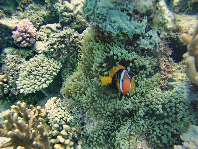 Clown fish on the great barrier reef stock images