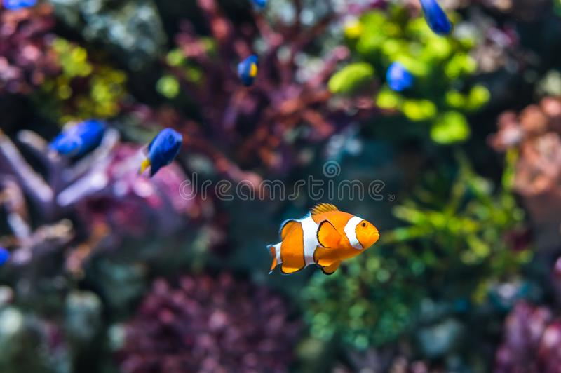Clown Fish. Single Clown Fish Swimming in Coral Reef. Underwater Scene stock photography