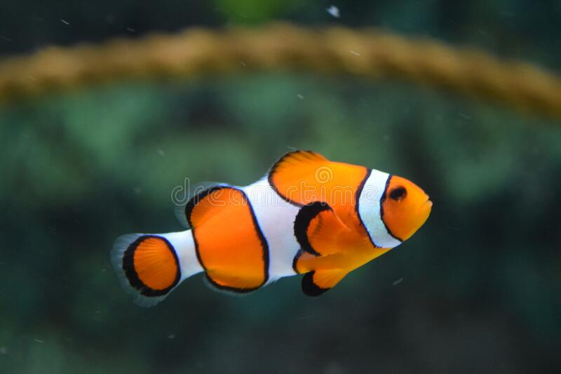 Clown Fish Swimming royaltyfri foto