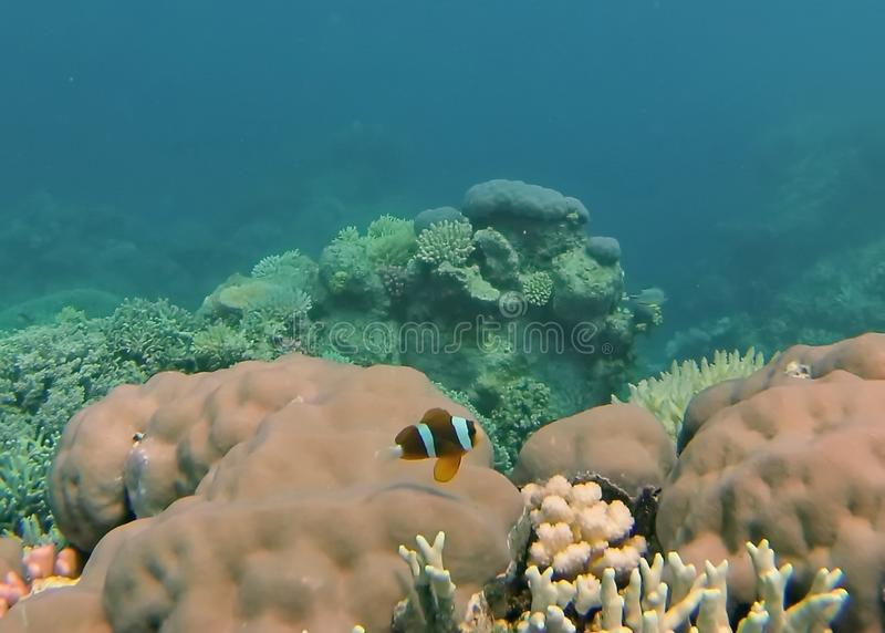 Clown fish on a coral head on the Great Barrier Reef royalty free stock images