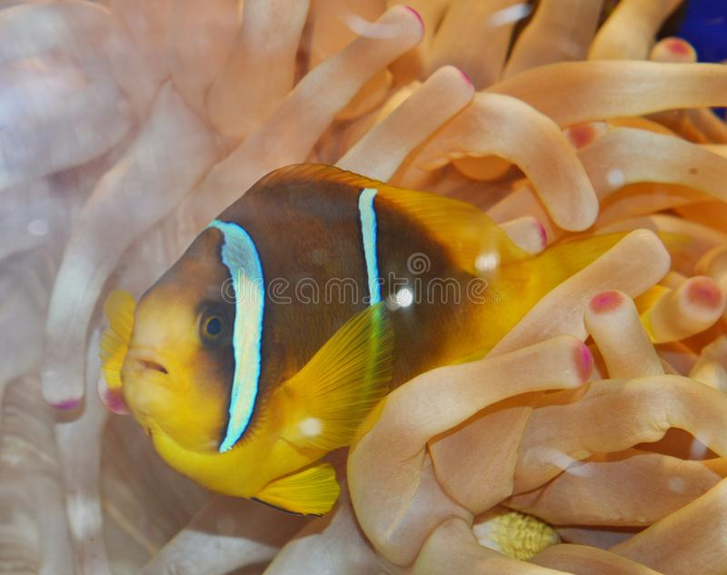 Clown Fish swimming in anemone. Tropical fish swimming among his habitat, anemone coral. Clownfish or anemonefish are fishes from the subfamily Amphiprioninae in