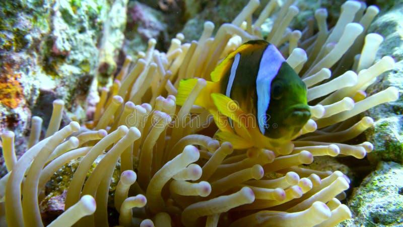 Clown fish swimming into Sea Anemone stock image