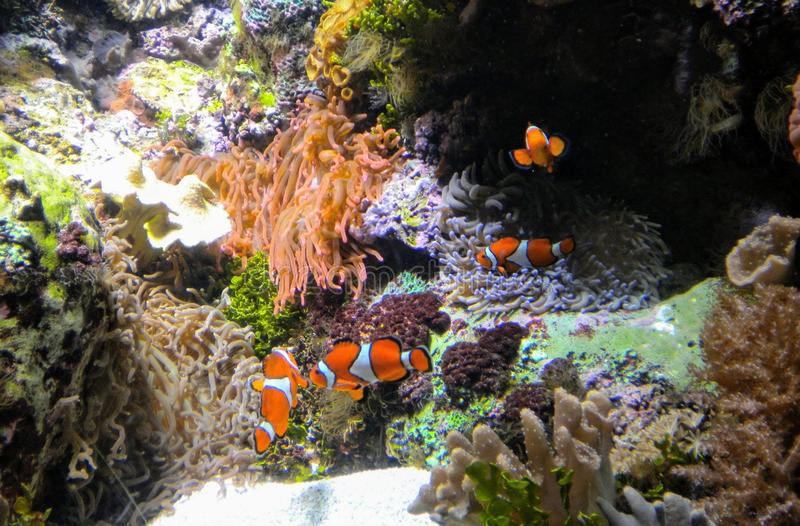 Clown fish swinning in coral reef royalty free stock photo
