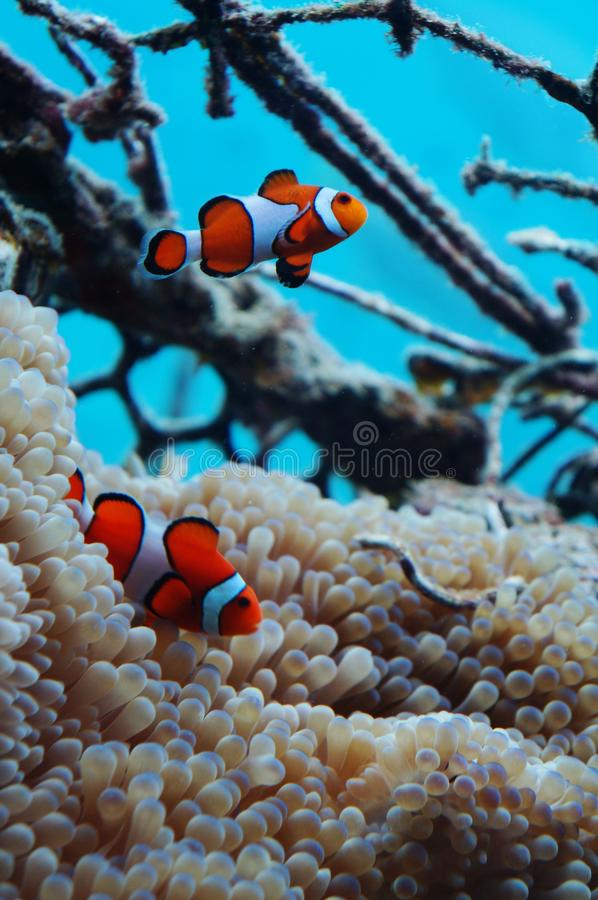 Clown fish symbiotic with anemone royalty free stock photos