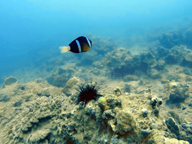 Clown fish underwater stock photo