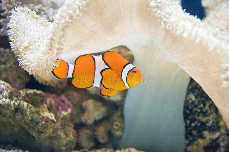 Clown Fish And White Coral Royalty Free Stock Image