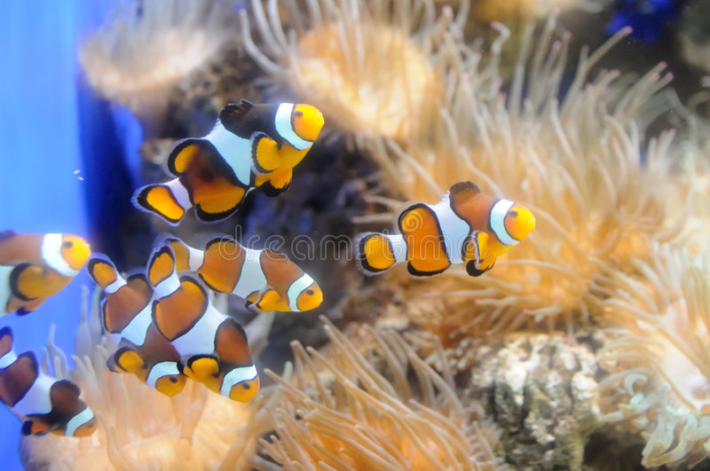 Clown fishes stock photos
