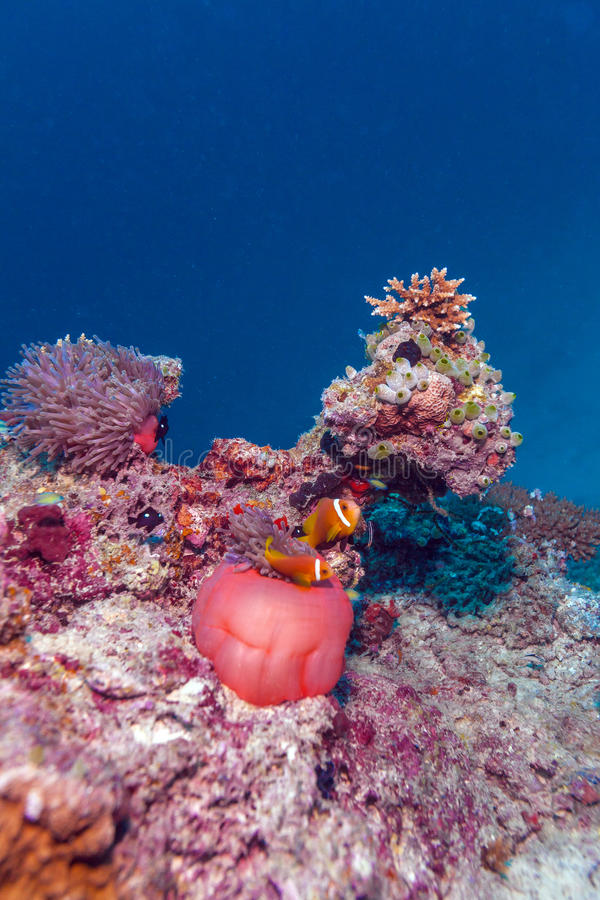 Clown Fishes Nested in Purple Anemones royalty free stock photos