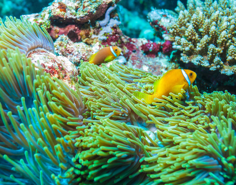 Clown Fishes Nested in Purple Anemones stock photography
