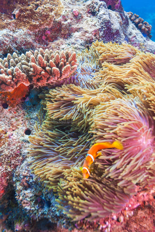 Clown Fishes Nested in Purple Anemones royalty free stock photography