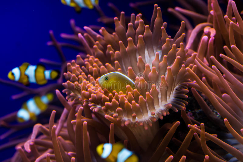 Clown fishes and sea anemone royalty free stock photos