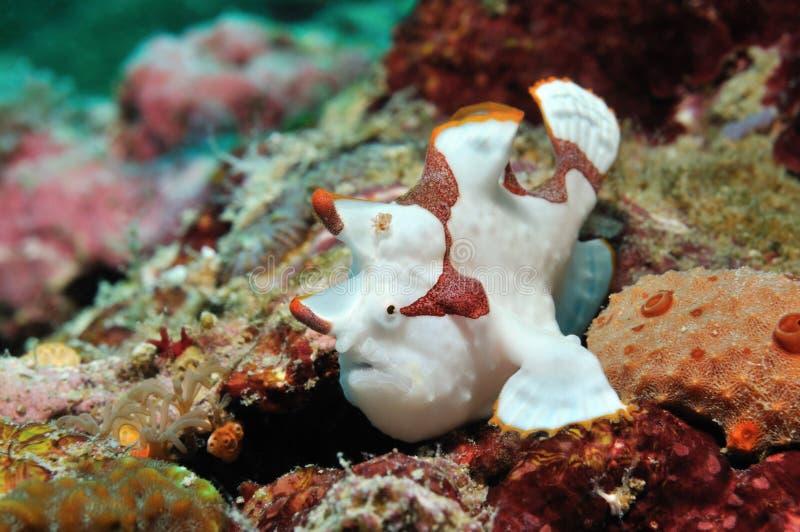 Clown Frogfish stockfoto