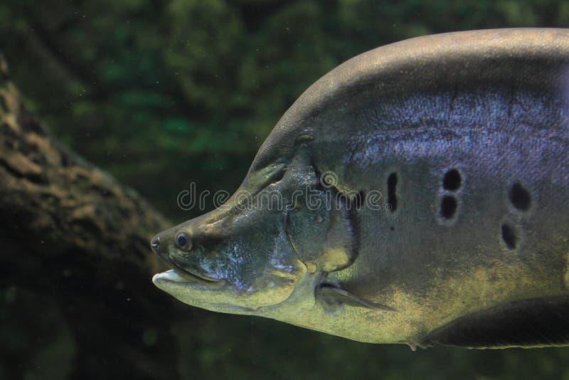 Clown knifefish stockfoto