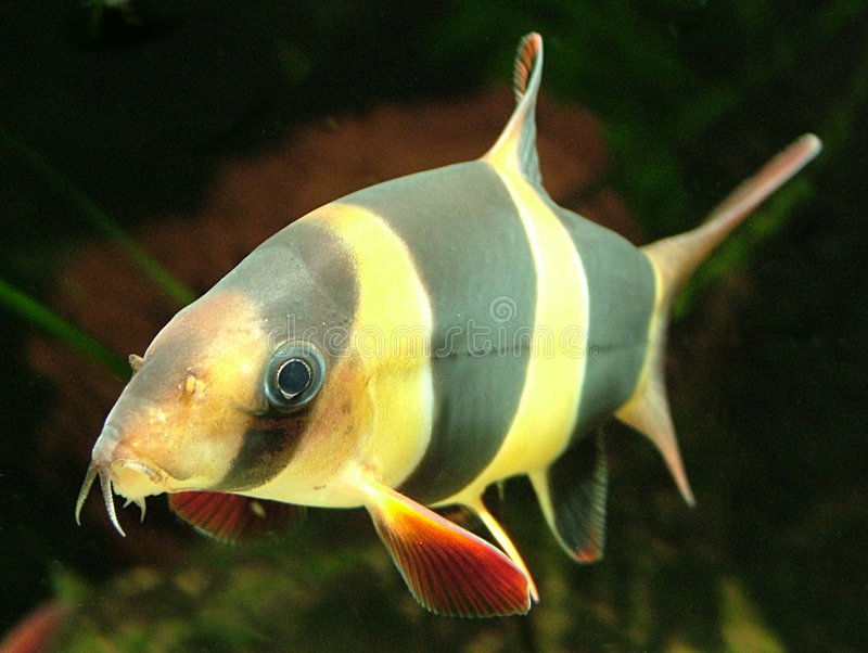 Clown Loach. A Clown Loach Tropical fish. Actual size 5cm from nose to tail stock photography