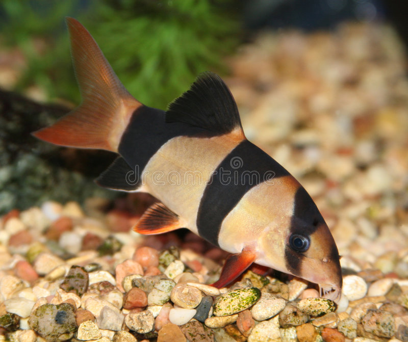 Clown loach. Clown loach swimming in aquaria. (Botia macracantha stock photos