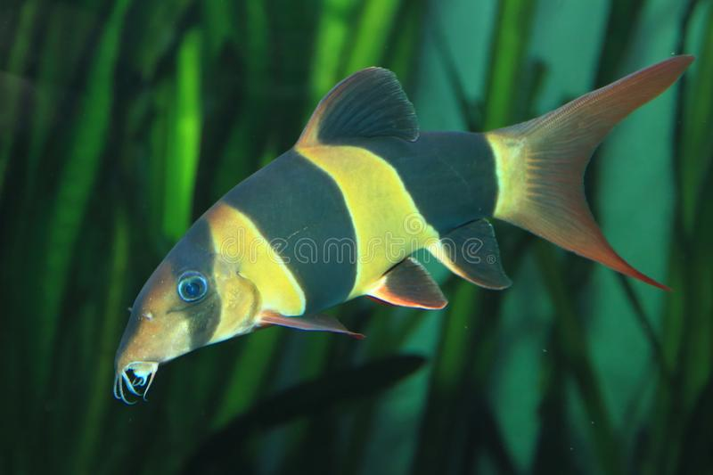 Clown loach. Floating in water stock photo