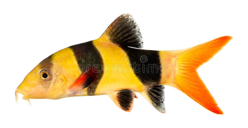 Clown loach fish. Isolated on white background. Chromobotia macracanthus stock photo
