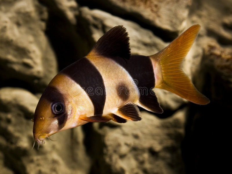 Clown loach fish botia macracantha. Macro of clown loach fish botia macracantha stock photography