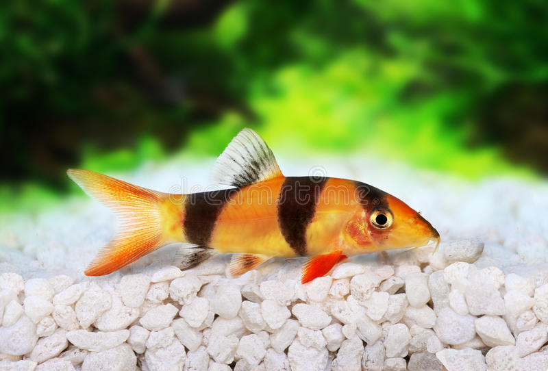 Clown loach tiger botia catfish Botia macracanthus. Aquarium fish royalty free stock images