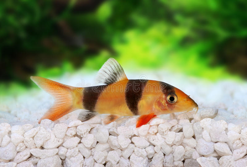 Clown loach tiger botia catfish Botia macracanthus. In planted aquarium stock image
