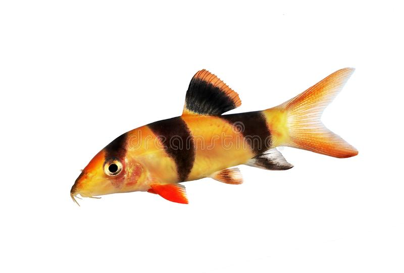 Clown loach tiger botia catfish Botia macracanthus aquarium fish. Fish stock photos