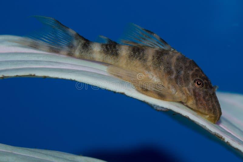 Clown Plecostomus stock afbeeldingen