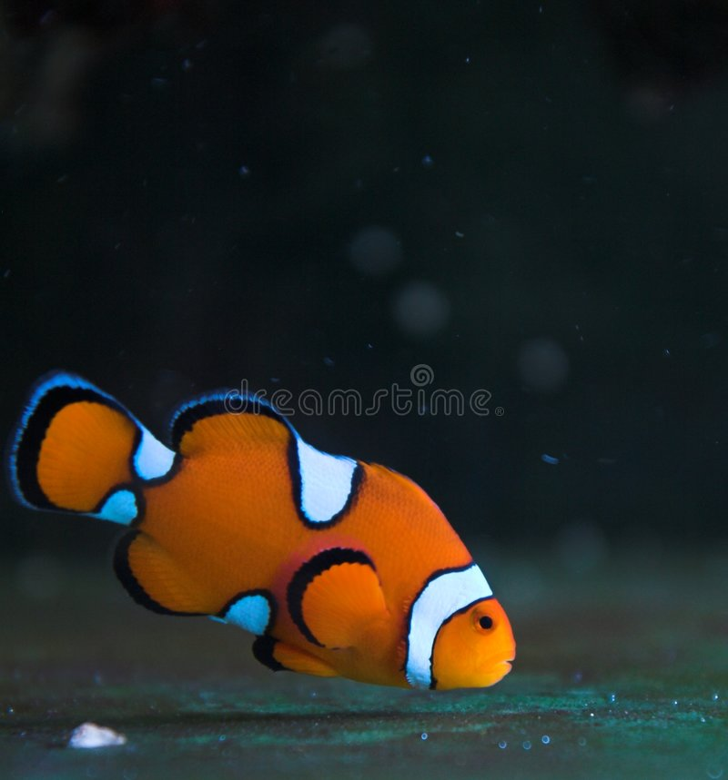 Clown saltwater fish stock image