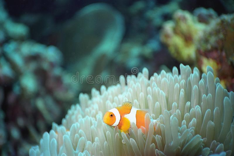 Download Clown time stock image. Image of underwater, clownfish - 8565133