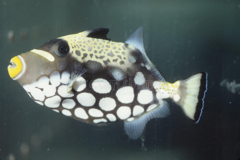 Clown trigger fish. Side view of clown trigger fish (Balistoides conspicillum) in its salt water aquarium home royalty free stock images