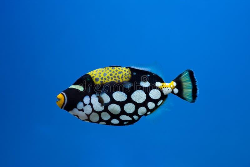 Clown trigger fish royalty free stock image