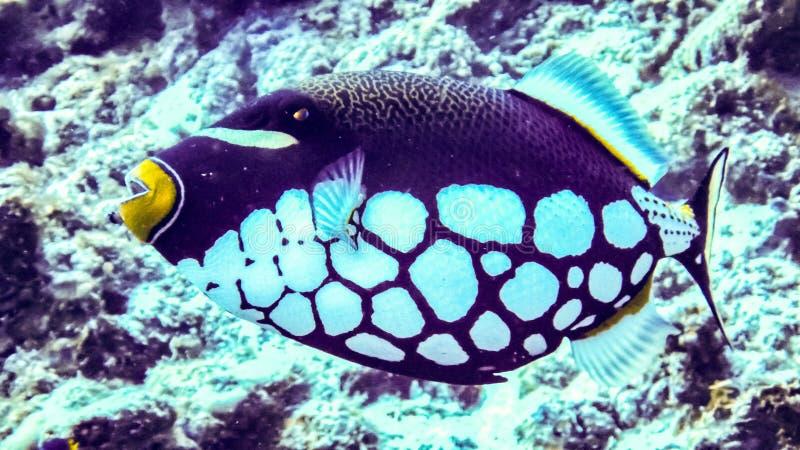 Clown Trigger Fish Balistoides conspisillum, Maldives. royalty free stock image