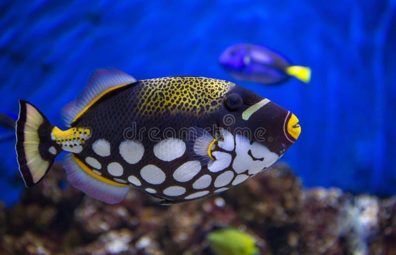 Clown Trigger Fish royalty free stock photos