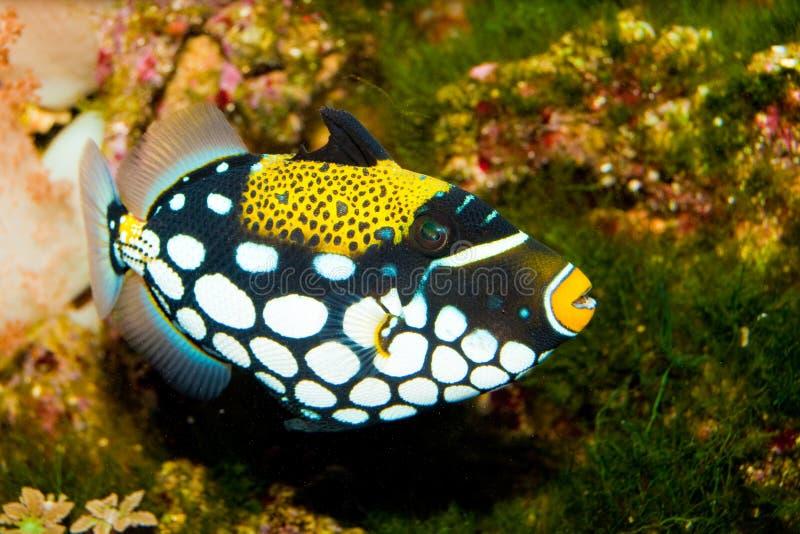 Clown-Triggerfische stockfotos
