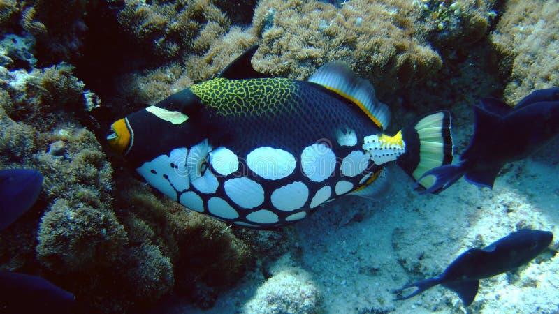 Clown-Triggerfische, Kandoludu, Maldives lizenzfreie stockbilder