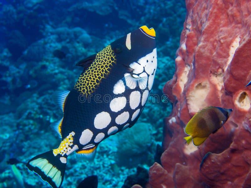 Clown Triggerfish lizenzfreie stockfotografie