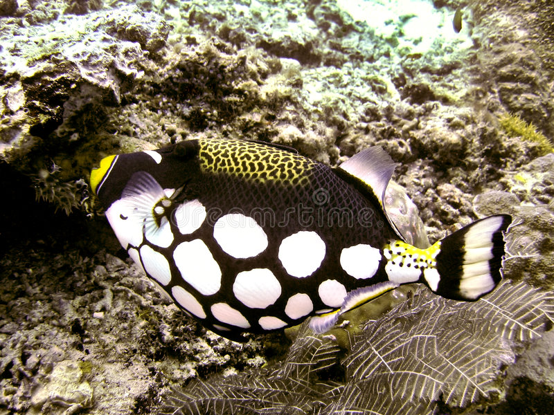 Clown Triggerfish stock photography